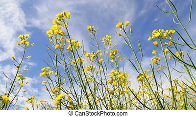 Blossoms flowers of Rapeseed  on the blue sky