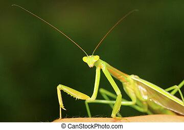 tenodera mantis - closeup of tenodera mantis, nature...