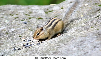 Chipmunk eating seeds on the rock