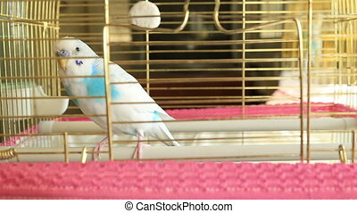 Blue and white budgie - White Budgie in his cage
