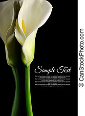Beautiful white Calla lily with reflection on black...