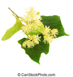 Linden flowers on a white background - Fresh linden flowers...