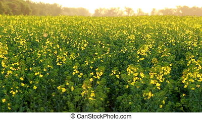 Canola blooming - Canola field blooming on late spring at...