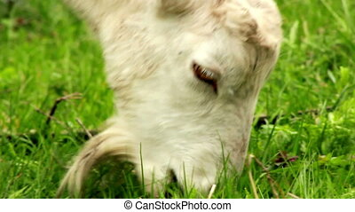 Goat on pasture - Goat eating grass close up