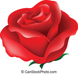 A red rose - Illustration of a red rose on a white...