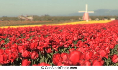 Windmill in Tulip Field - Out of focus windmill in the...