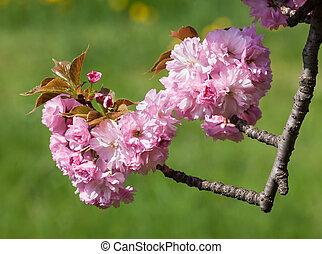 Sakura. Blossomed Japanese cherry trees - Sakura. Delicate...