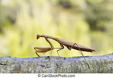 Praying Mantis Isolated on Green Background