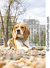 beagle dog lying on rocks in the park