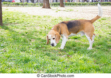 old dog beagle sniffing in the park with green grass around...