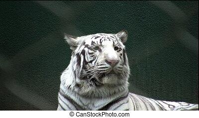 bengal tiger - rare white bengal tiger