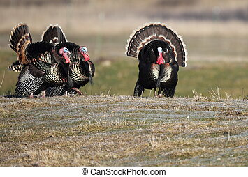 Strutting Tom Turkeys - Three strutting tom turkeys during...