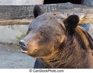 Portrait of a brown bear close tricky summer day