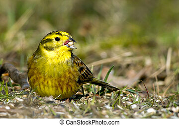 Yellowhammer - The male Yellowhammer Emberiza citrinella, a...