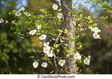 White flowering dogwood tree Cornus florida