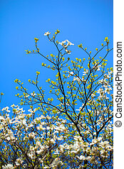 White flowering dogwood tree Cornus florida in bloom in...