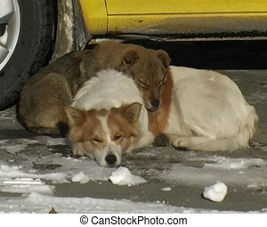 hound dogs - two hound dog sleep on the snow near the yellow...