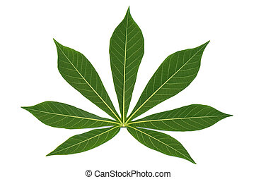 Beautiful Cassava backside leaf on white. - Beautiful...