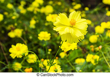 Sulfur Cosmos - Yellow sulfur cosmos flowers in the garden...