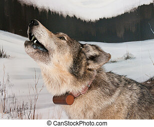 Tagged Timber Wolf - Close up of timber wolf with electronic...