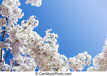 White cherry tree blossoms in spring. Bright blue sky...