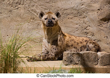 Spotted Hyena at the zoo