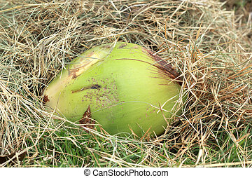 Coconut fruit in the grass.