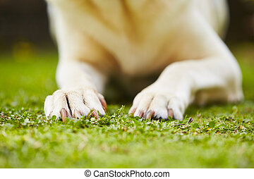 Paws of yellow labrador retriever on grass