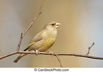 Greenfinch - Female Greenfinch on a branch.