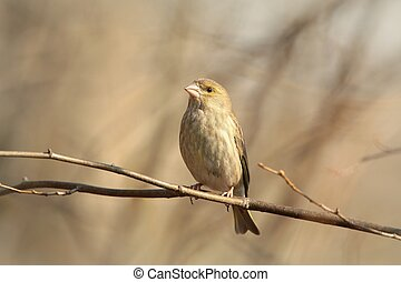 Greenfinch - Female Greenfinch on a branch