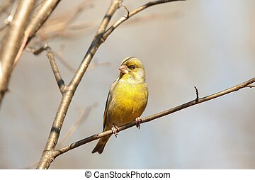 Greenfinch - Male Greenfinch on a branch.