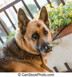Old German Shepherd Portrait