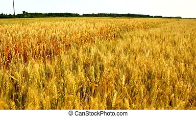 wheat barley golden field