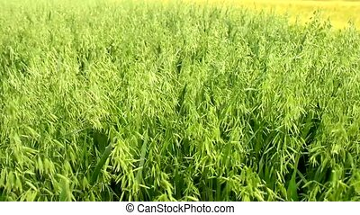 wheat barley grain golden agricultural field meadow in...