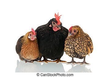 Chickens isolated over white background - Bantam chickens...
