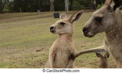 Kangaroo scratches