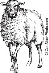 hand drawn sheep illustration