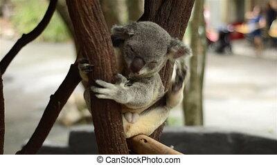 Koala scratching And yawning