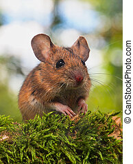 Field Mouse (Apodemus sylvaticus) in a forest - Field Mouse...