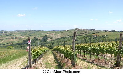 Field of grape vines - Field cultivated with grape vines