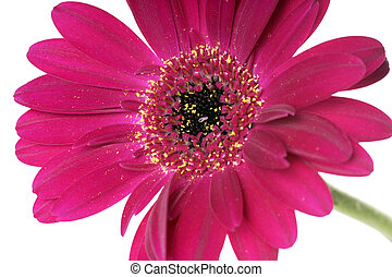 Gerbera over a white background
