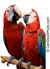 Green-winged Macaw on tree branches isolate on white...