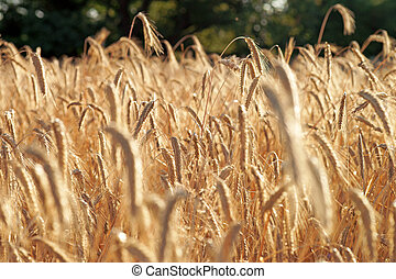 Barley field - golden shining barley field