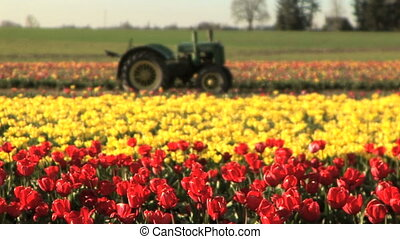 Tractor in a tulip field - Tractor in the middle of a tulip...