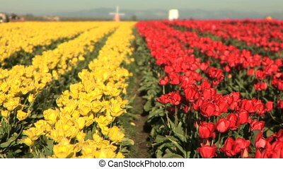 Tulip Field - Windmill in the middle of a tulip field, Tulip...