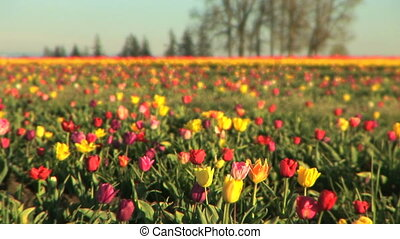 Multi-colored Tulip Field - Tulip festival, Woodburn, Oregon