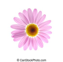pink marguerite - beautiful single white spring marguerite...