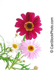 colorful marguerites - beautiful colourful spring...