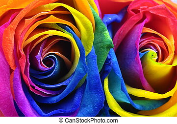 Rainbow rose or happy flower - Close up of happy rose :...