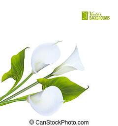 Calla lily. Vector illustration.